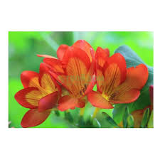 Фрезия <b>Simple Pleasures</b> Freesia Orange 10шт (1001417337 ...