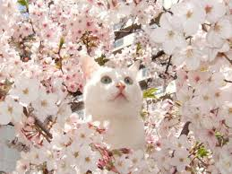 Image result for white cat with white flowers and pink trimmings images