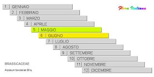 Alyssum tavolarae [Alisso di Tavolara] - Flora Italiana