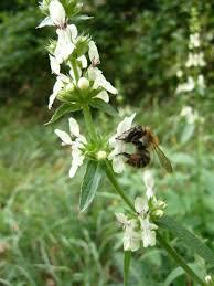 Stachys recta – Bee Happy Plants