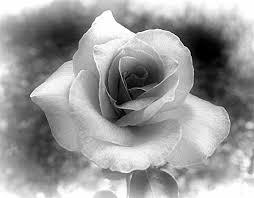 Bildergebnis für bilder weiße rosen kostenlos