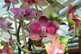 """Attēlu rezultāti vaicājumam """"orhidejas"""""""