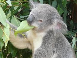 Resultado de imagem para foto de koalas