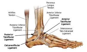 ankle bone diagram   aof comgallery of ankle bone diagram