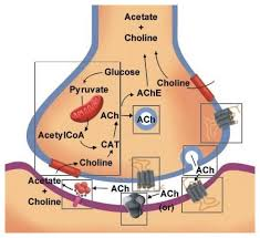 Acetylcholine Neurotransmission (Section 1, Chapter 11 ...