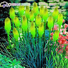 Hot Sales! 10 Pcs/lot Kniphofia Flower Seeds Red ... - Amazon.com