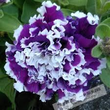 Petunia large flower petals rotating <b>series</b> flower bonsai <b>100pcs on</b> ...
