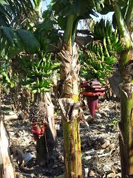 Musa × paradisiaca - Wikipedia