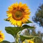 Семена подсолнечника Бригадир от оригинатора. Элита