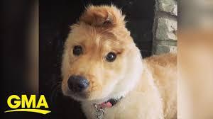 This 1-eared '<b>unicorn</b>' <b>dog</b> is stealing our hearts   GMA Digital ...
