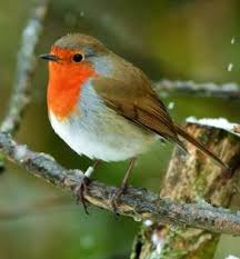 Image result for christmas robin bird