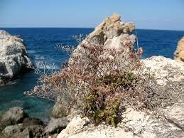 Limonium pontium Pignatti - Limonio dell'Arcipelago Pontino ...