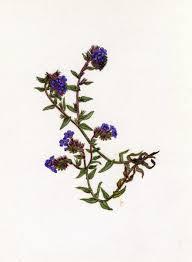 Alkanna tinctoria Tausch | Flora of Israel Online