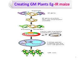 Creating GM Plants Eg IR maize       SlideShare