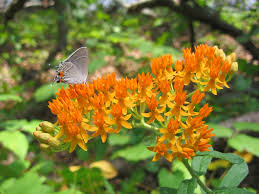 whole idea healing asclepias tuberosa at fort yargo state park in winder usa