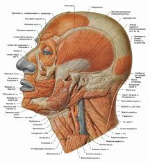 bones and muscles of the human head   anatomy human body    bones and muscles of the human head muscles of the human head human anatomy diagram