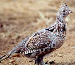 Small Picture Ruffed Grouse