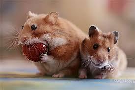 Hasil gambar untuk hamster eating fruit