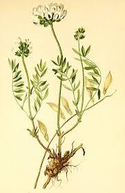 Astragalus australis - Wikipedia, la enciclopedia libre
