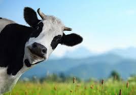 Plasma sanguíneo de vacas para enfermedades humanas
