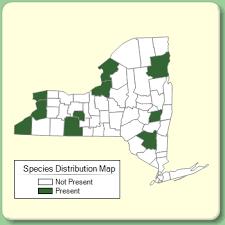 Euphorbia platyphyllos - Species Page - NYFA: New York Flora Atlas