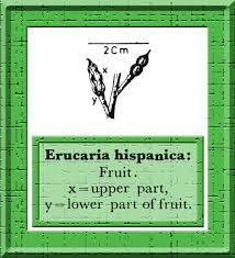 Erucaria hispanica in Flora of Pakistan @ efloras.org