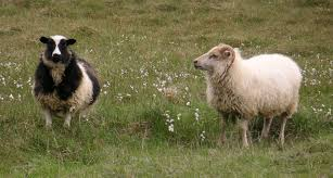 Image result for Picture of sheep