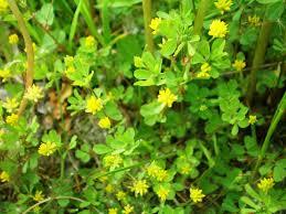 Trifolium dubium – Wikipédia, a enciclopédia livre