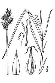 Plants Profile for Carex ovalis (eggbract sedge)