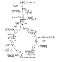 cp biology home pagekrebs cycle diagram