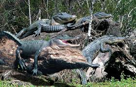 Image result for louisiana bayou alligator