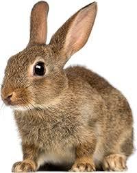 Mengatasi Kemandulan dengan Daging Kelinci