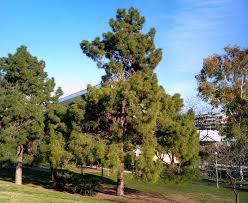 Resultado de imagen de arboles pino