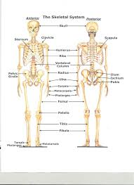 bone system diagram   anatomy human body    bone system diagram skeletal system thinglink