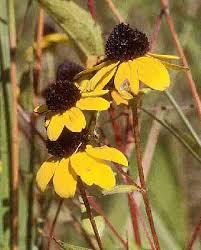 Rudbeckia triloba - Online Virtual Flora of Wisconsin