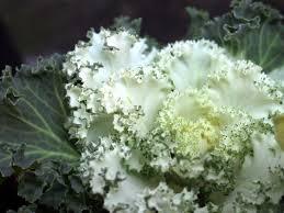 Brassica - Wikipedia