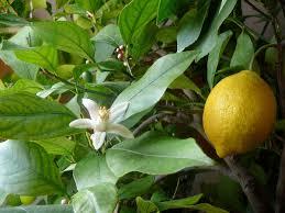 <b>Lemon</b> - Wikipedia