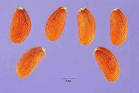 Plants Profile for Lepidium sativum (gardencress pepperweed)