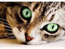 Bildergebnis für braune katze mit grünen augen