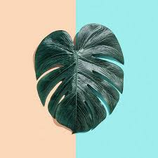 <b>Tropical Plant Monstera Leaf</b> On A Split Tone Background Stock ...