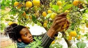 Urban Fruit Foraging