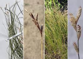 Carex brizoides L. - Portale alla flora del Parco Nazionale delle ...