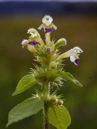 Large-flowered Hemp-nettle, Galeopsis speciosa - Flowers ...