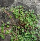 wall pellitory