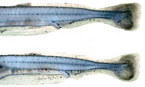 Early Development of Four Cyprinids Native to the <b>Yangtze</b> River ...