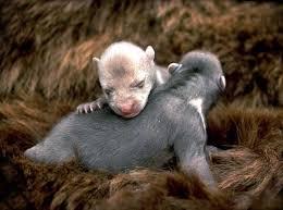 """Résultat de recherche d'images pour """"ours noir d'asie bébé naissance"""""""