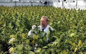 Image result for indoor cannabis grow