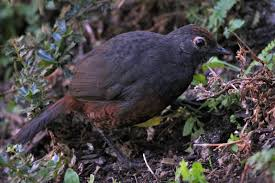 Black-throated huet-huet