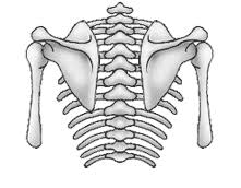「肩甲骨と動き」の画像検索結果