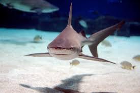 Carcharhinus plumbeus